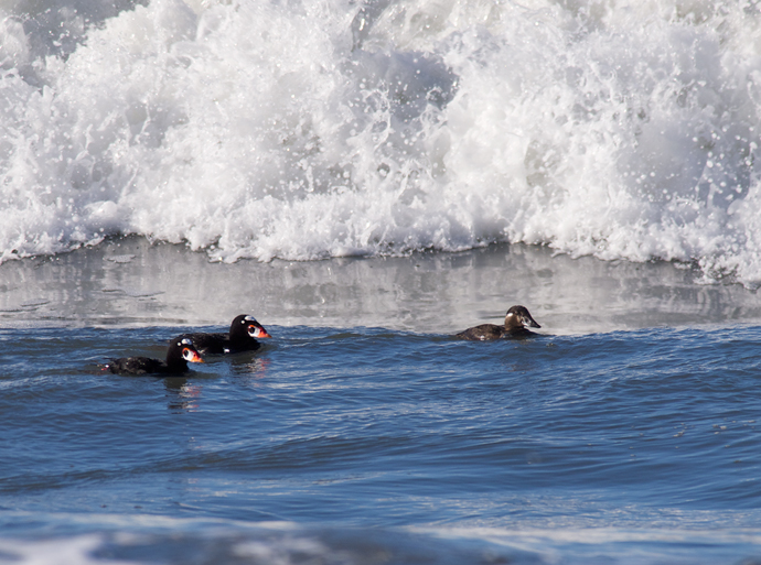 Scoters in Surf, Stinson Beach, Marin COunty
