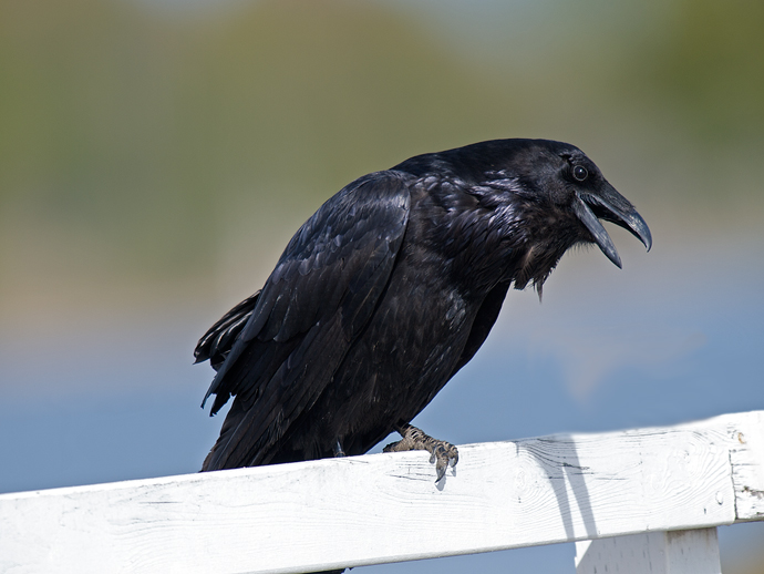 Common Raven, White Fence
