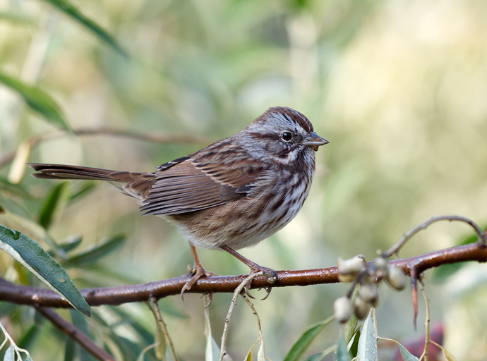 Song Sparrow, Cordova