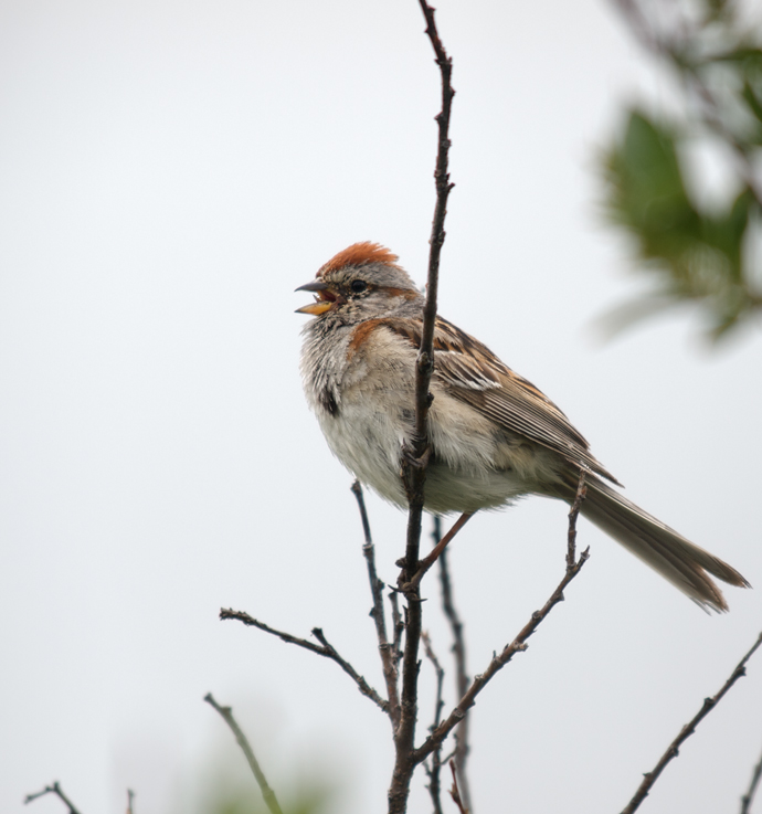 American Tree Sparrow, Black Rapids Canyon