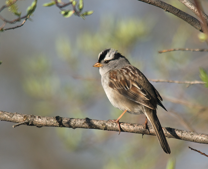 White-crowned Sparrow, Denali Highway