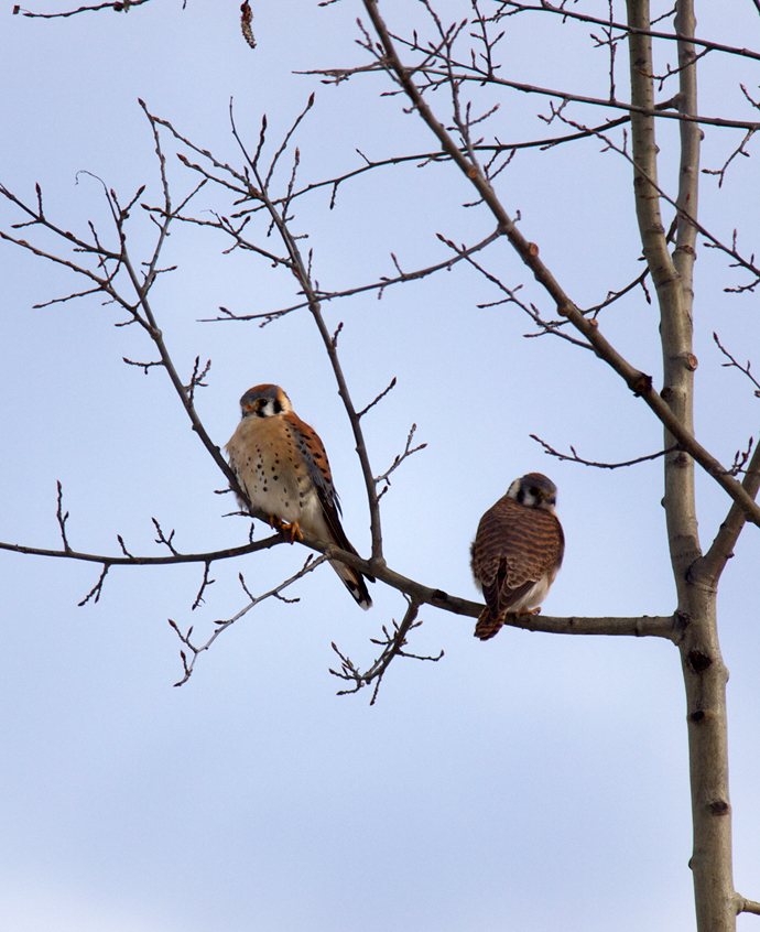 American Kestrels, April 2012
