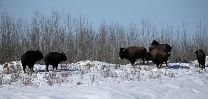 Bison, Windy Ridge
