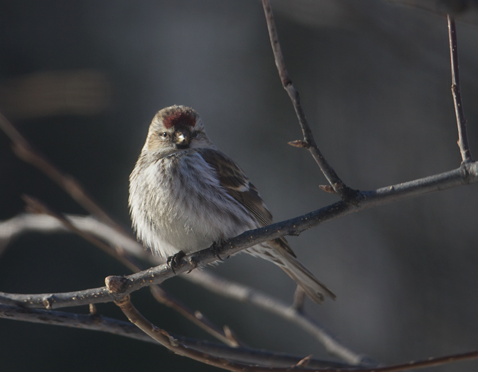 Very Common Redpoll