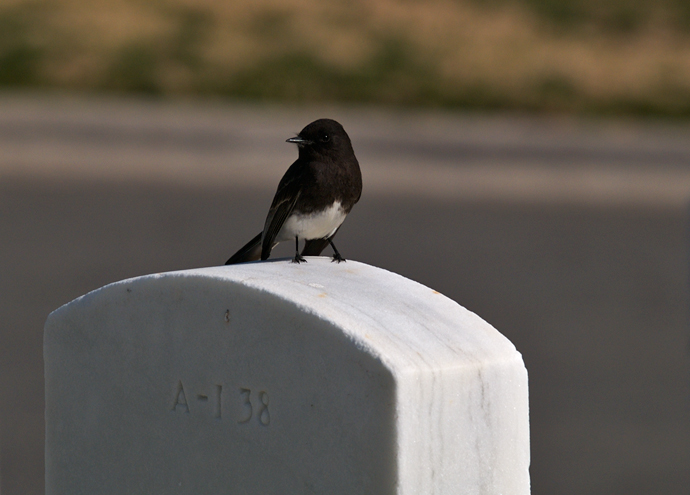 Black Phoebe on Tombstone, San Diego, CA