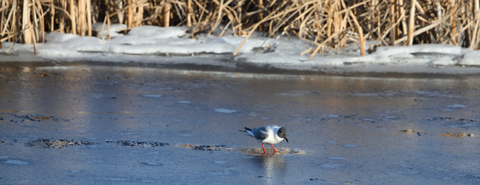 Bonaparte's Gull Ice Fishing