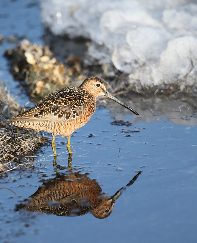 Long-billed Dowitcher in Breeding Plumage