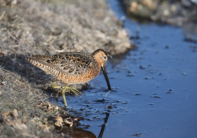Long-billed Dowitcher Sucking Scum