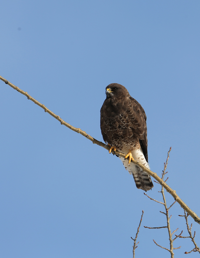 Swainson's Hawk, dark phase, Barley Way, Delta