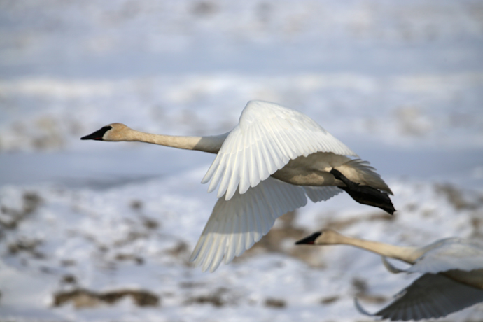 Trumpeter Swan in Flight, May 1, 2013