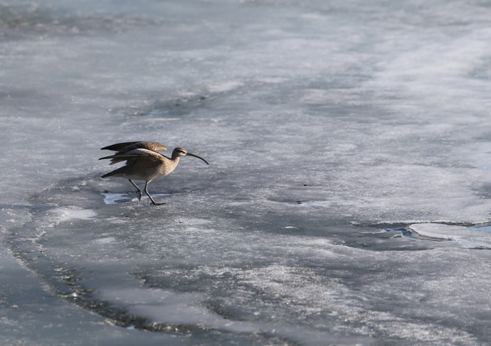 Whimbrel on Ice