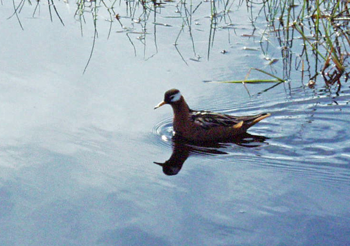A lousy photo of a Red Phalarope