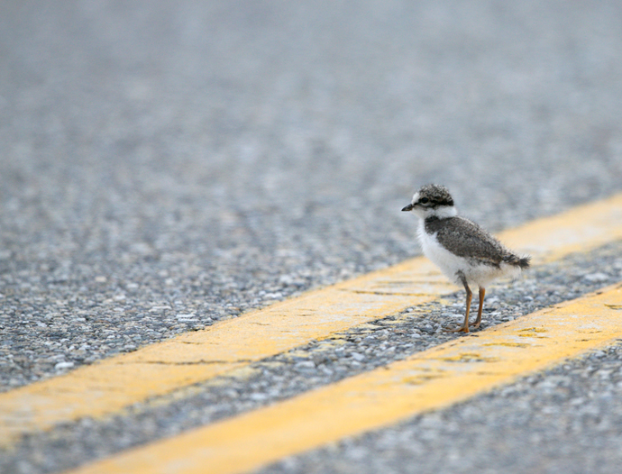 Semipalmated Plover Kid with a Problem