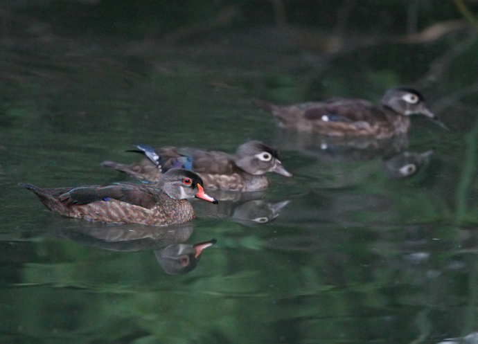 Wood Ducks, Eclipse Plumage