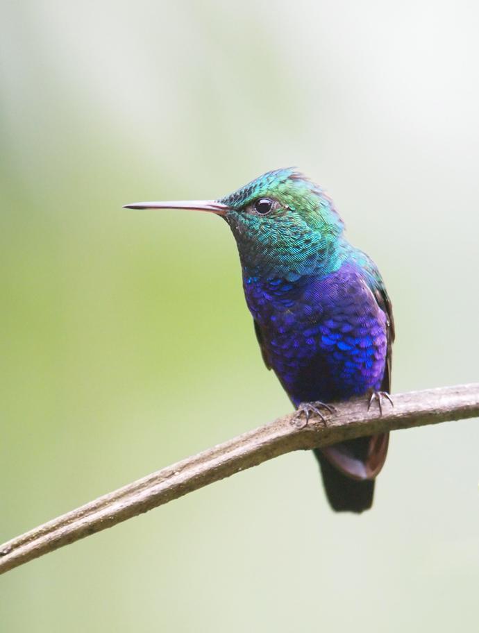 Violet-bellied Hummingbird, Ecuador