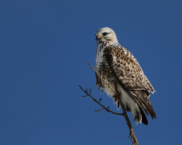 Rough-legged Hawk, Delta Junction, May 2013