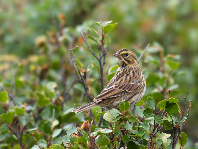 Savannah Sparrow, Denali Highway, June 2012