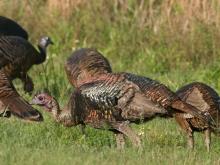 Wild Turkey Flock, Florida 2008
