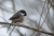 Boreal Chickadee, November 2013