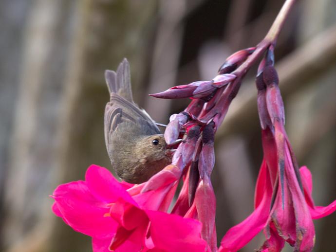 Slaty Flowerpiercer Piercing a Flower