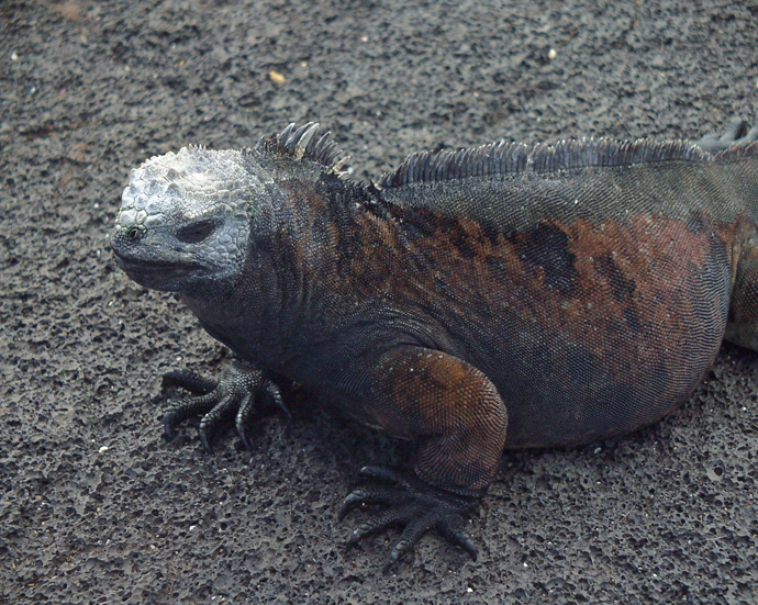Marine Iguana, Fernandina Island. Olympus C2500L