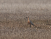 Bar-tailed Godwit, Old Chevak, Alaska