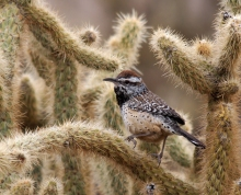 Cactus Wren in Jumping Cholla