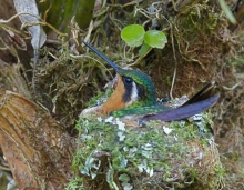 Purple-throated Mountain-Gem on Eggs, Costa Rica