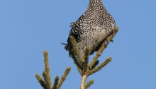 Sharp-tailed Grouse Cruising the Boreal