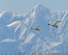 Trumpeter Swans and Mt. Hayes
