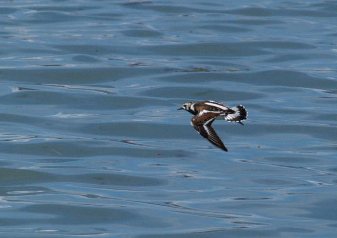 Ruddy Turnstone in Flight, Valdez Arm