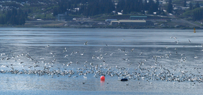 Sorting Out Gulls and Terns in Valdez Arm