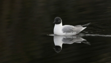 Bonaparte's Gull, Sheep Creek Road, Fairbanks