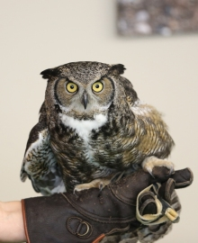 Gandolphe the Great Horned Owl and Drama Queen