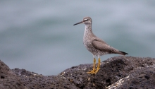 Wandering Tattler, St. Paul Island, Pribilof Islands, Alaska