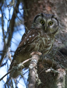 Boreal Owl, Chena River Recreation Area