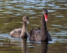 Black Swan nd Cygnet, Marlborough, New Zealand, via Wiki Commons