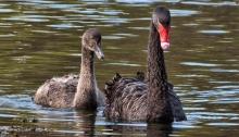 Black Swan nd Cygnet, Marlborough, New Zealand, via Wiki Commons