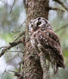 Boreal Owl Female