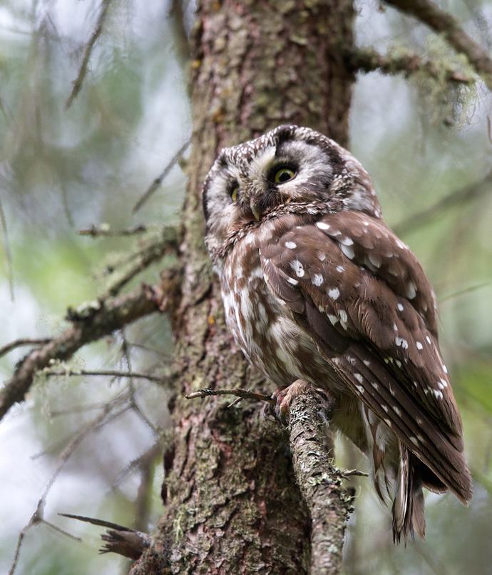Boreal Owl Female