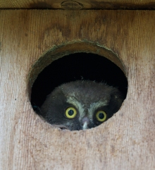 Boreal Owlet Re-Thinking the Belligerence Strategy