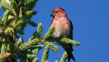 White-winged Crossbill Male, Nabesna Road
