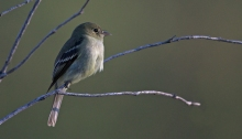 Yellow-bellied Flycatcher, Chatanika Tailings, Steese Highway