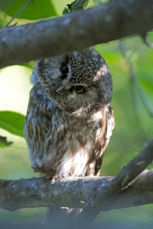 Boreal Owl Female's Commentary on Bird Photographers