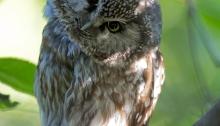 Boreal Owl Female's Commentary on Bird Photographers