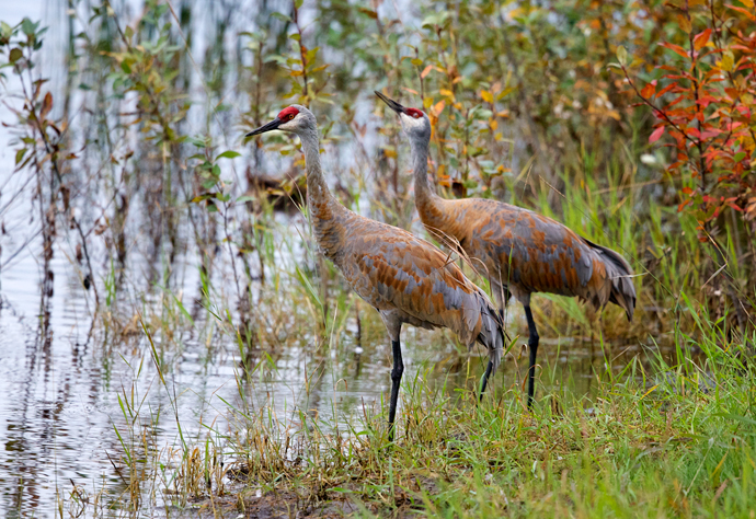 Sandhill Crane Pair, Wander Lake, Fairbanks