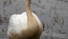 Trumpeter Swan, late August, 2014