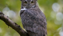 Male Great Horned Owl, Checking Out the Neighborhood