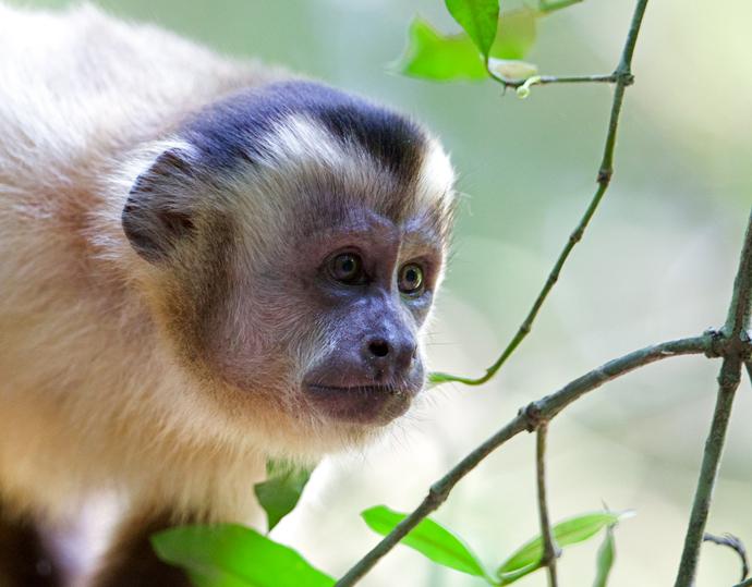 Black-Striped Capuchin, Pantanal, Brazil