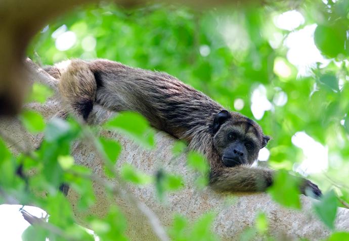 Male Black Howler, Pantanal, Brazil